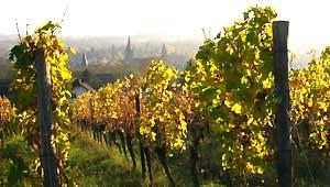vente vins biologiques Alsace
